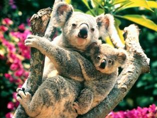 koala y cria