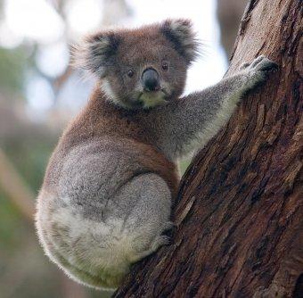 koala en arbol