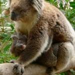 koala e hijo