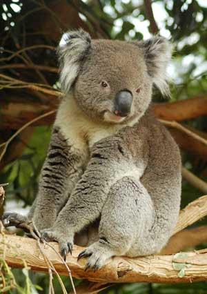 koala en bosque