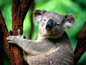 koala descansando