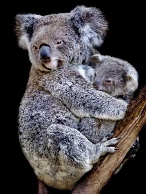 koala y bebe