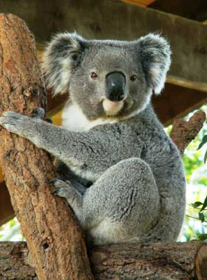 koala cautiverio