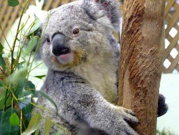 koala lindo