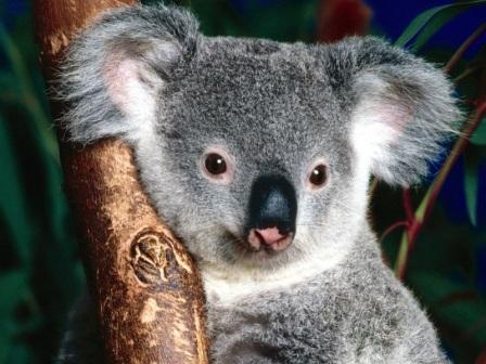 cara koala