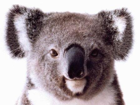 koala de frente