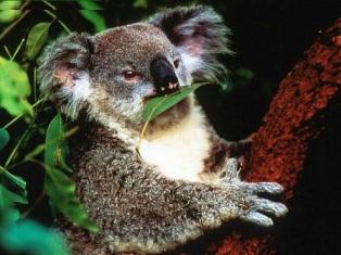 koala cominedo