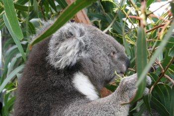 koala alimentandose