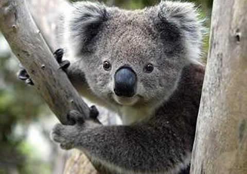 koala-arbol