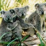 tres koalas
