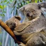 reproduccion koala