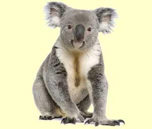 koala sentado
